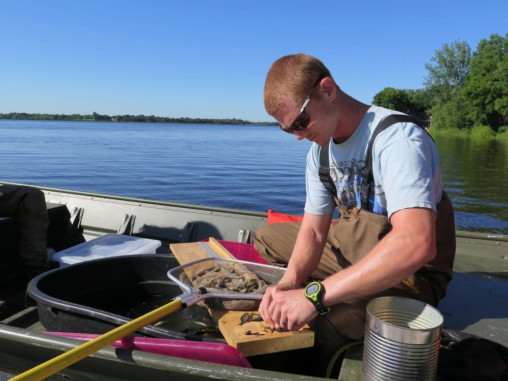 Scientists trying to make common carp a lot less so for Lake elizabeth fishing