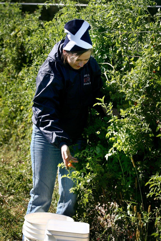 Mexican Midget harvest
