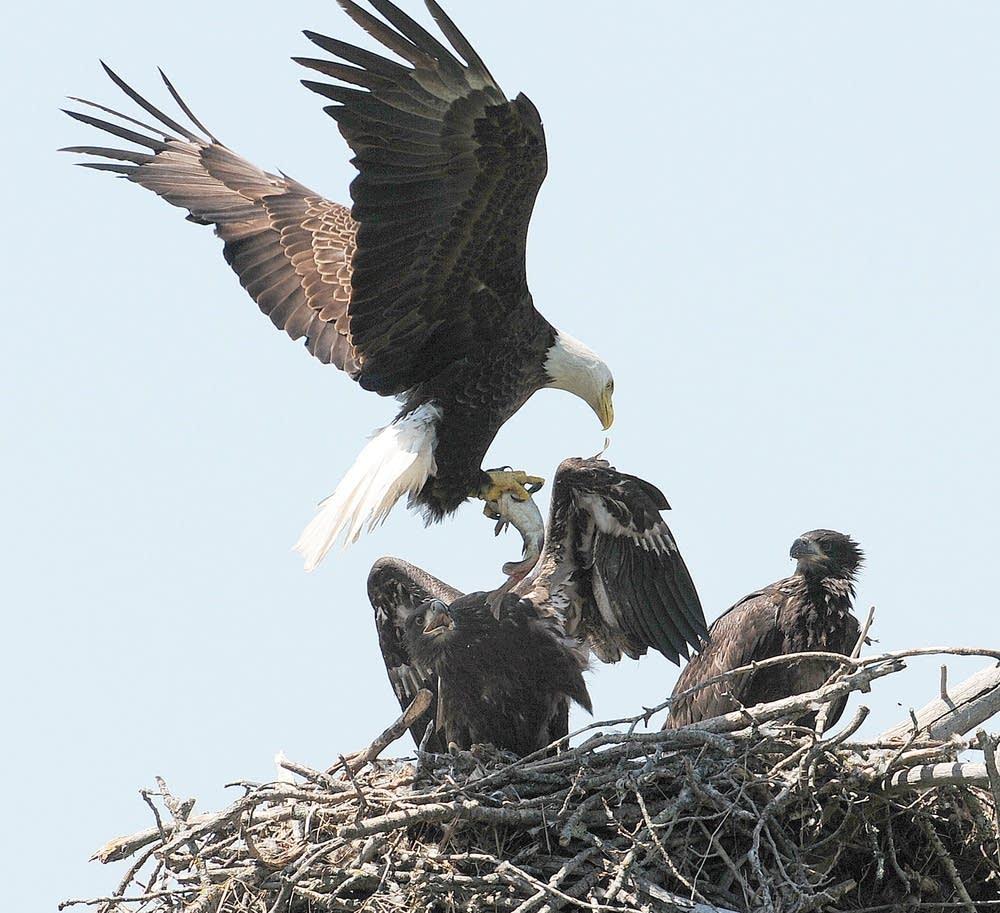 Bald eagle next