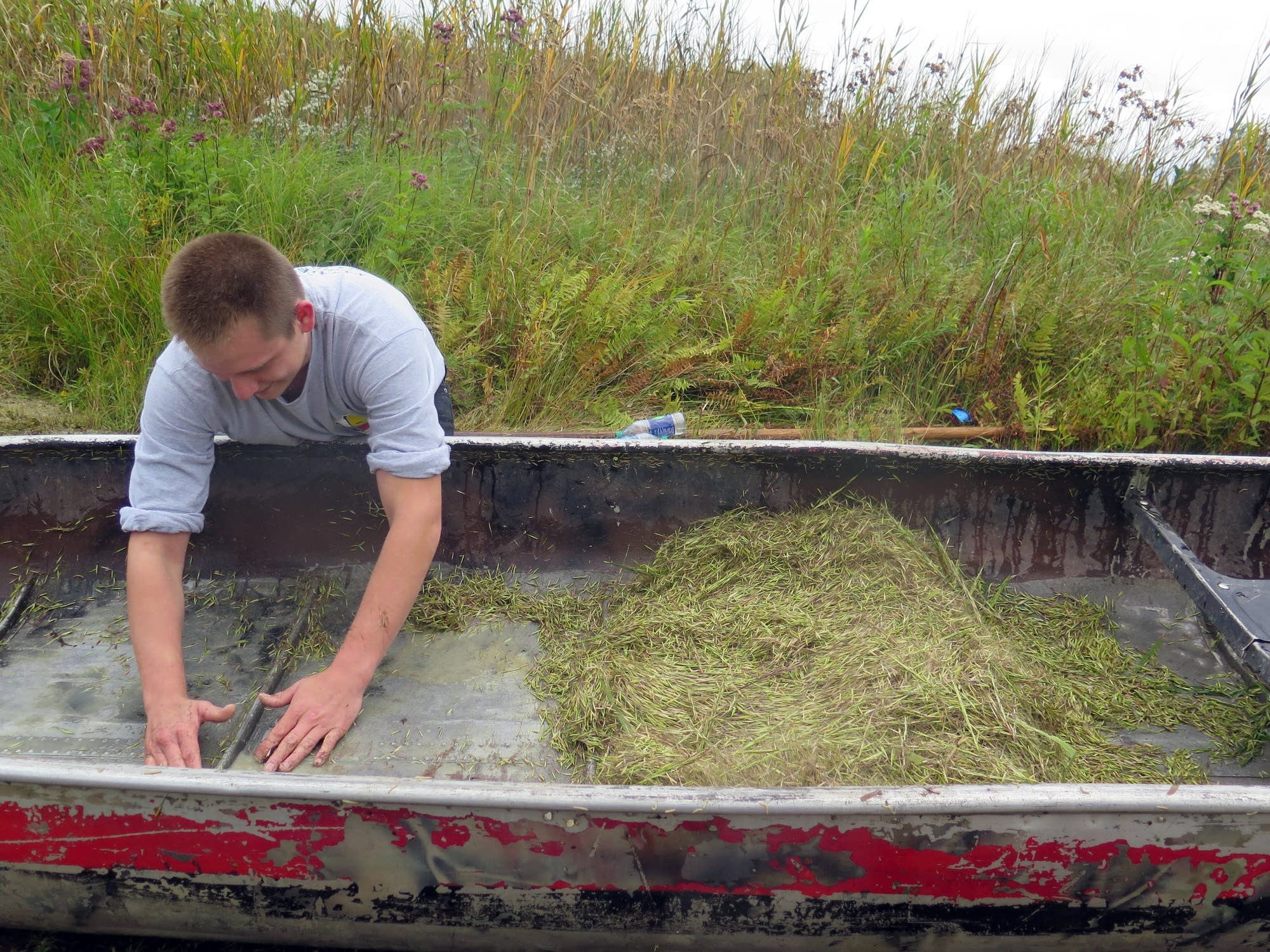 Bruce Martineau scoops up wild rice from the bottom of his canoe.