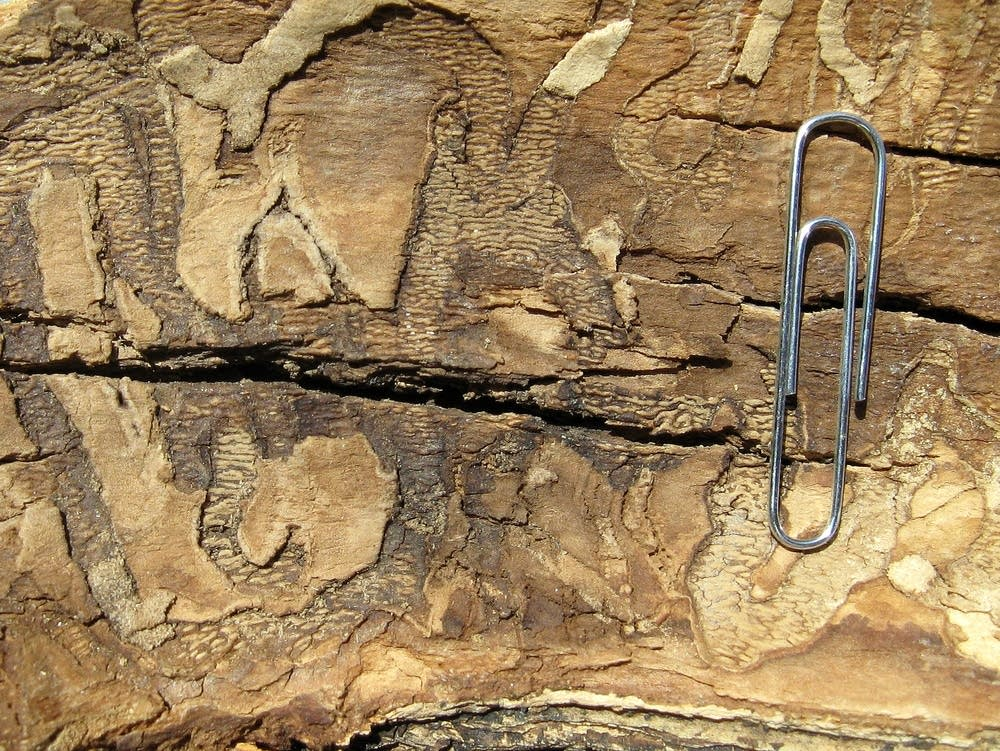 Evidence of ash borers