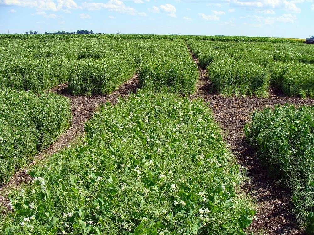 Pea varieties