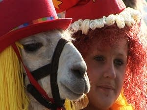 Llamas in costume