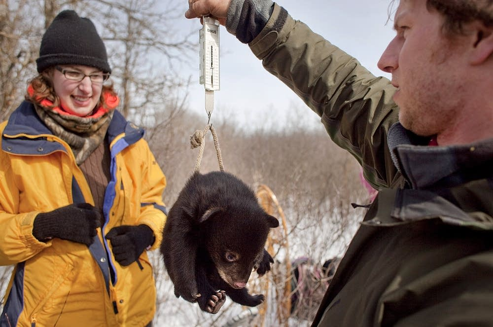 Weighing a bear cub