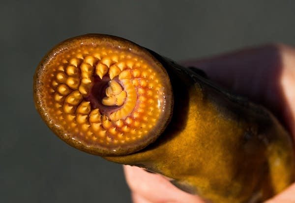Darin Reinke with the Great Lakes Aquarium holds onto a sea lamprey.