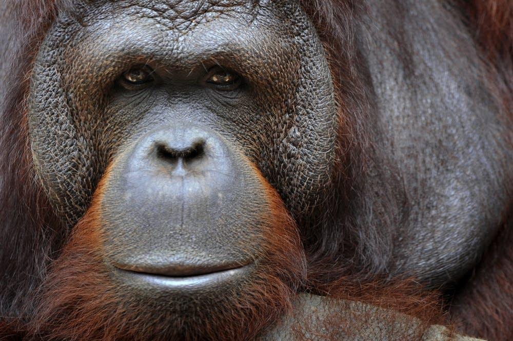 An orangutan sits in its enclosure