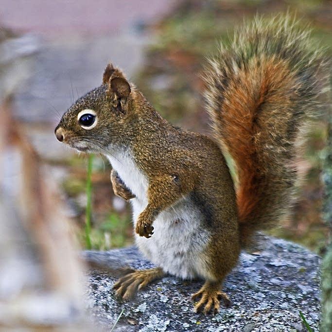 A squirrel near Lake Vermilion