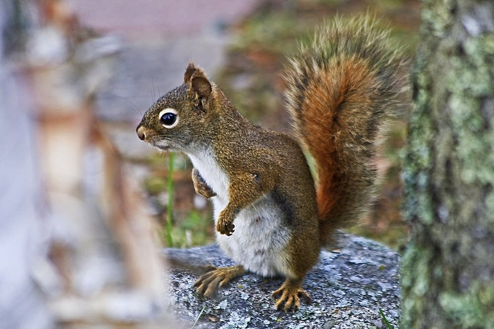 A squirrel near Lake Vermilion