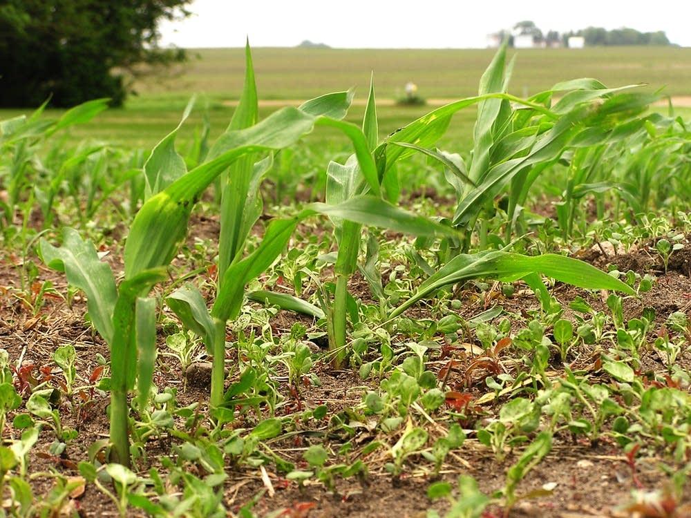 New corn