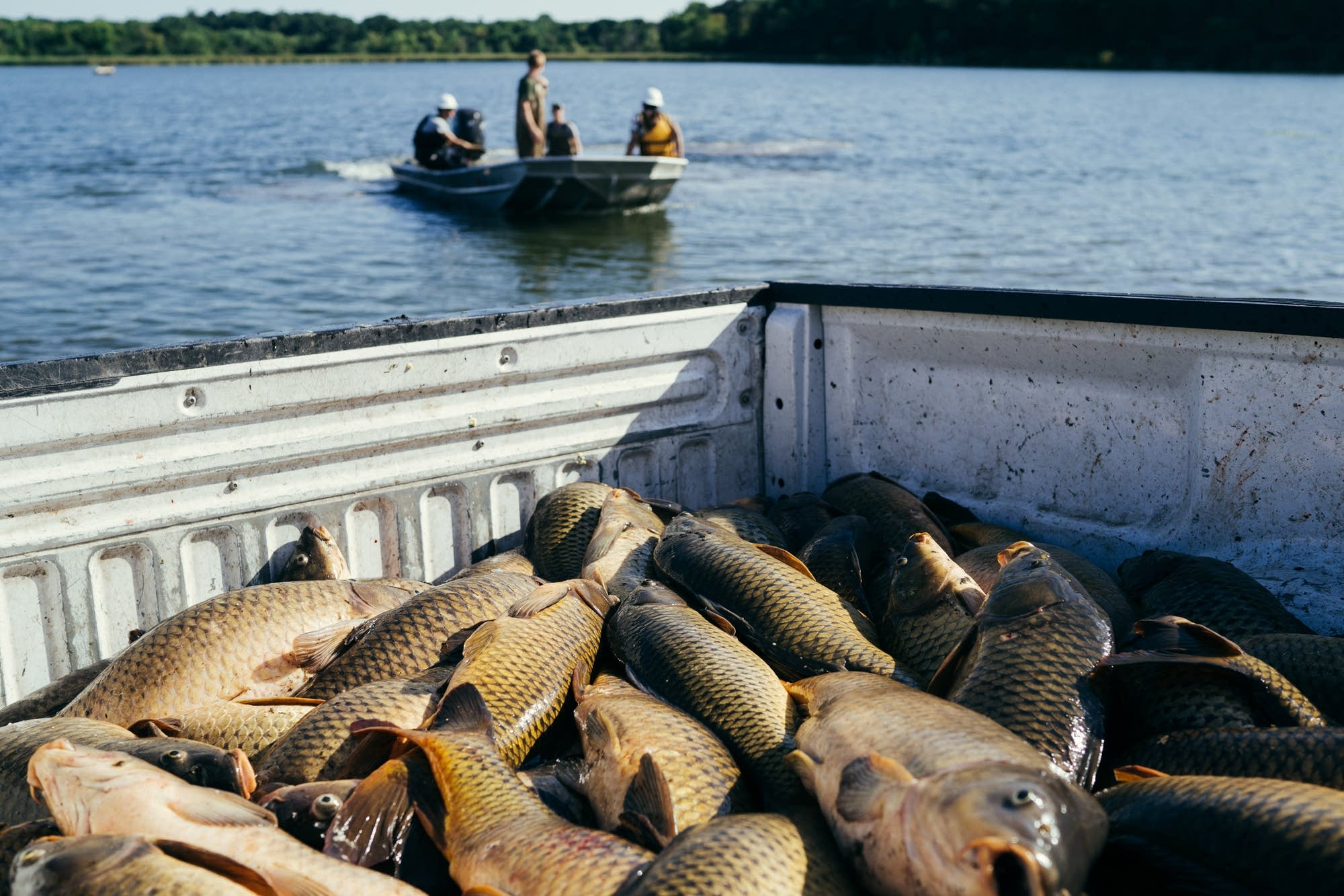 Dead and dying carp sit in the back of a pickup truck.