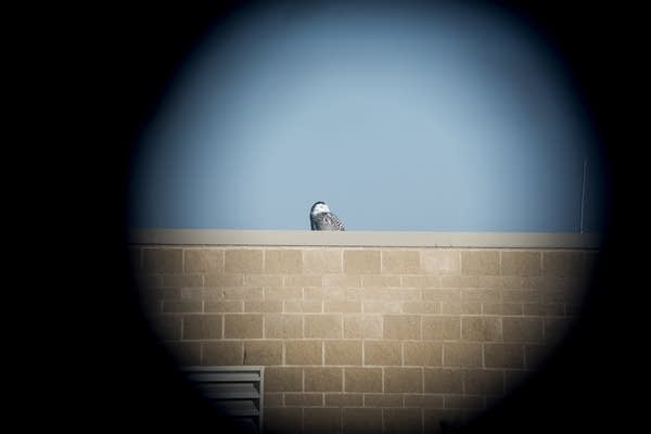 A snowy owl is seen through a spotting scope.