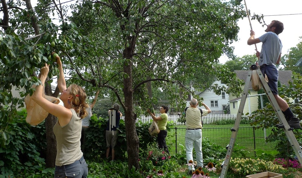 Volunteers pick pears in Minneapolis
