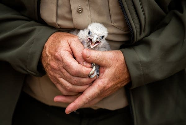 A peregrine falcon chick rests in the hands of Kurt Mead.