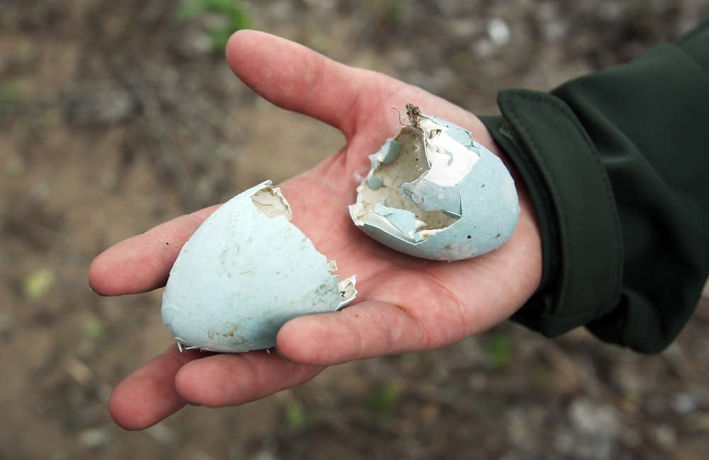 Great Blue Heron egg shells