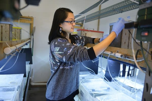 Lina Wang checks on the fish