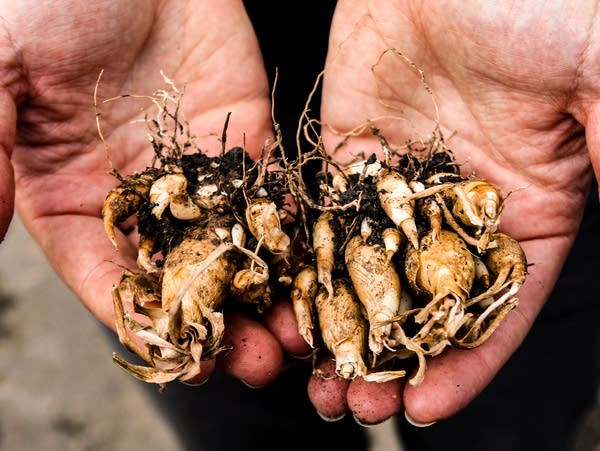 A close-up of hands holding root plants.