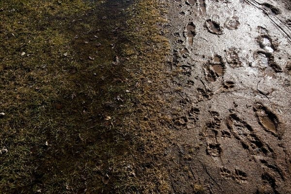 Muddy tracks line a trail.