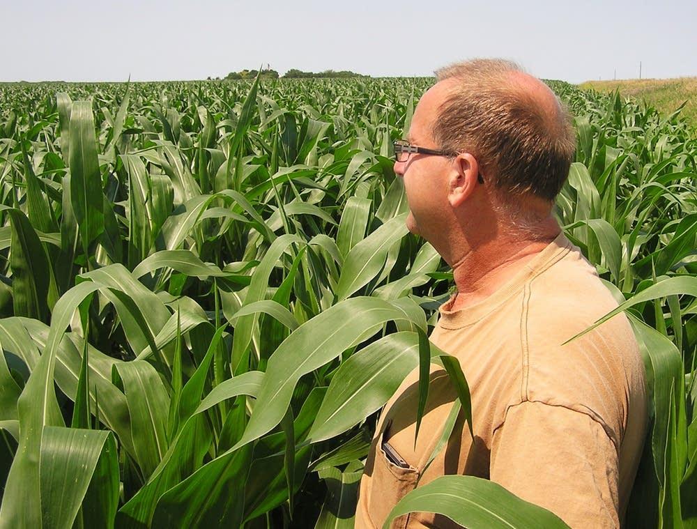 Shoulder-high corn