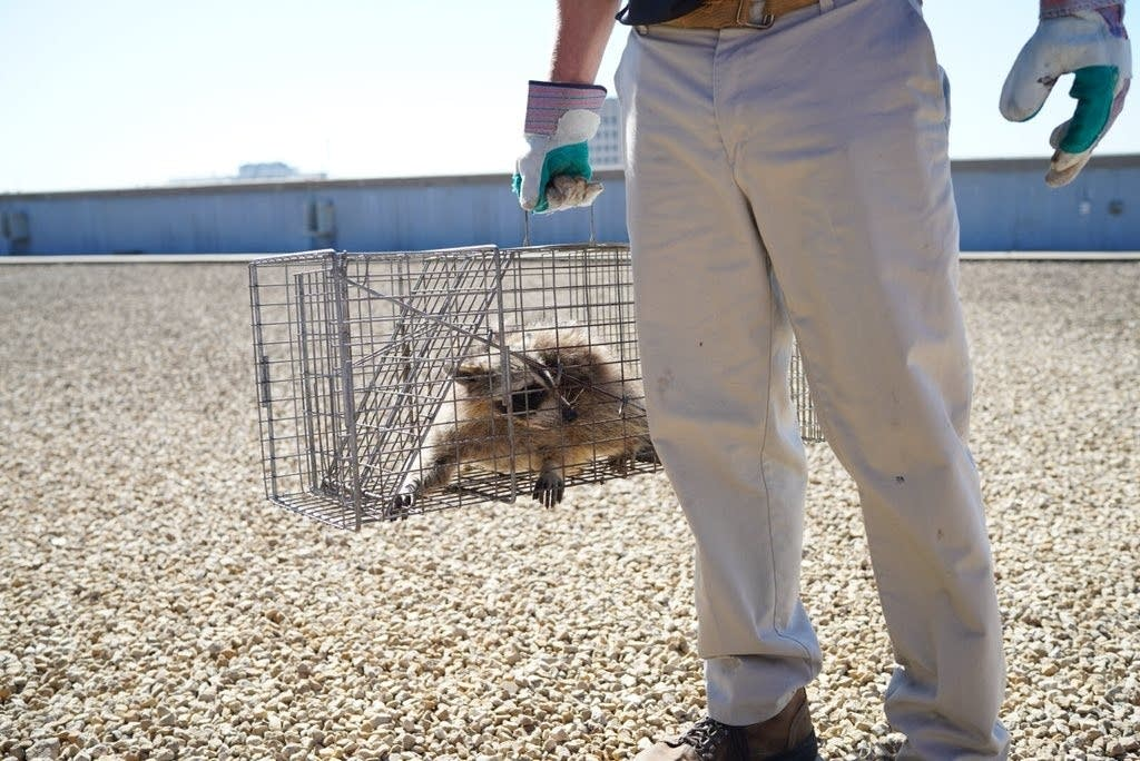 The #mprraccoon was picked up this morning by Wildlife Management Services.