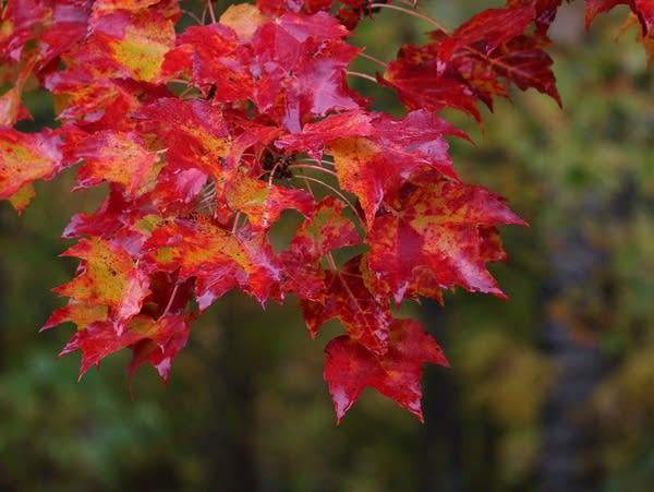Fall Colors Minnesota 2020.This Year S Wet Weather May Lead To Vibrant Fall Colors In