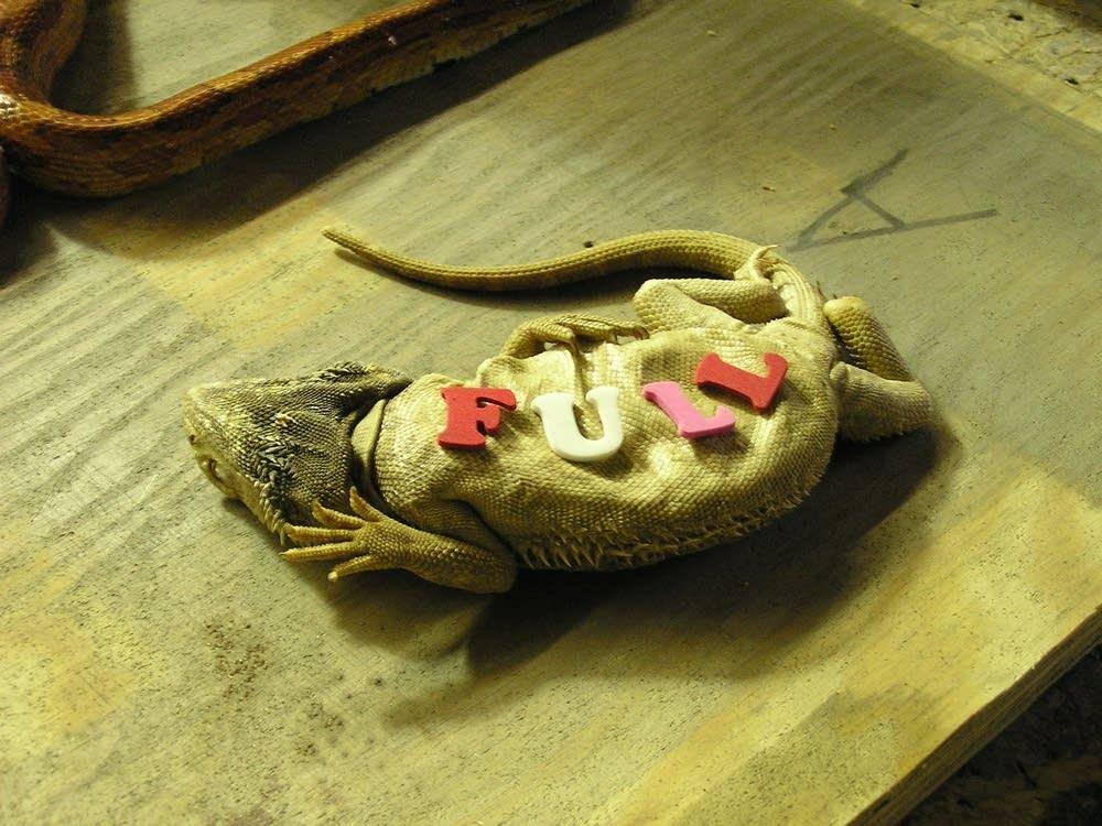 Full Lizard
