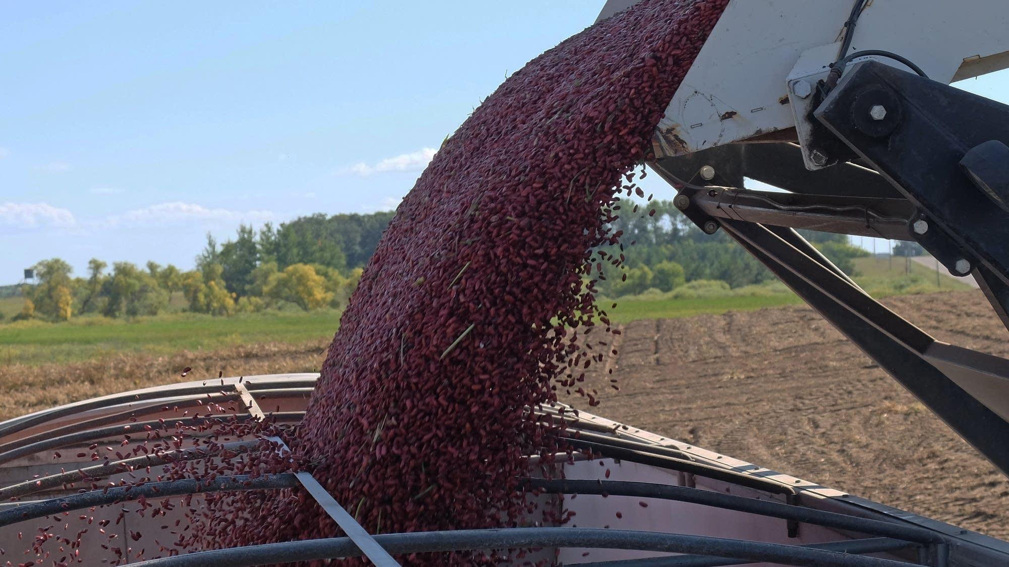 Tariffs Leave Minn S Nation Leading Kidney Bean Crop In Limbo Mpr News