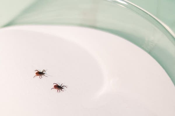 Two deer, or black-legged, ticks crawl around in a glass petri dish.