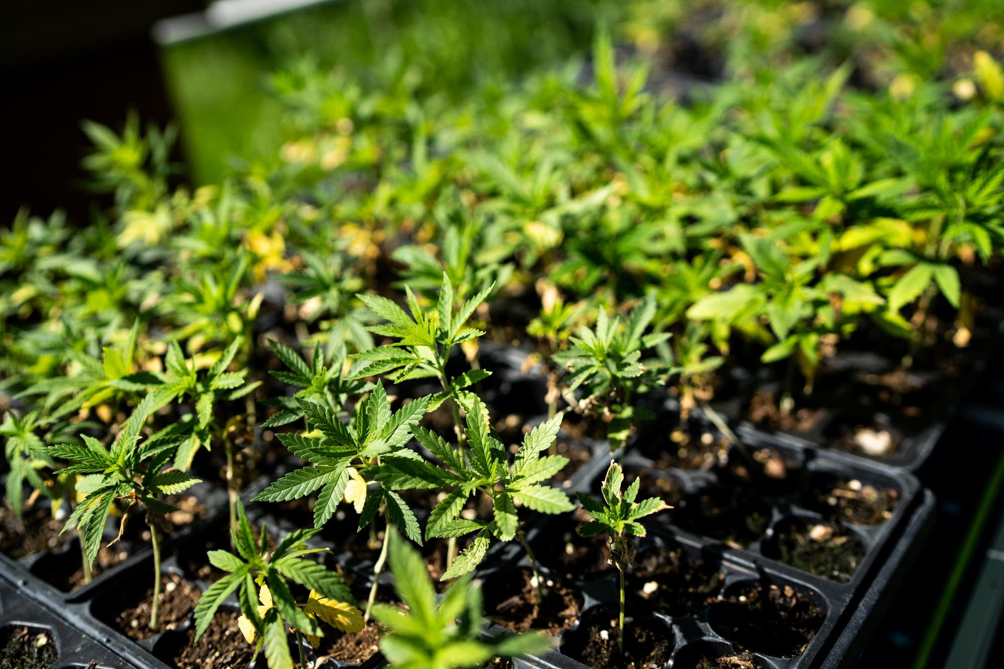 Small hemp plants brought outside from a grow room wait to be planted.