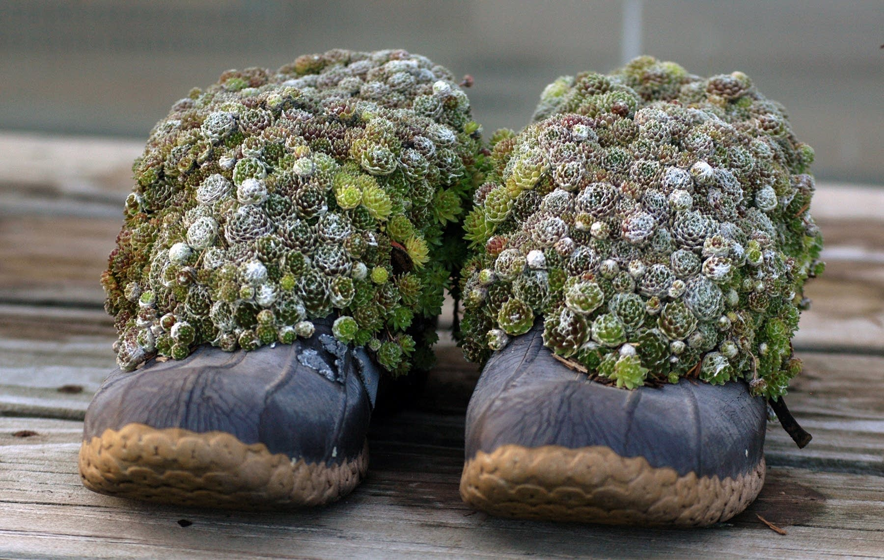 Hen and Chicks emerge from a pair of 'Bean boots.'