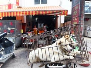 Dogs brought for slaughter wait on the back of a motorbike in Yulin