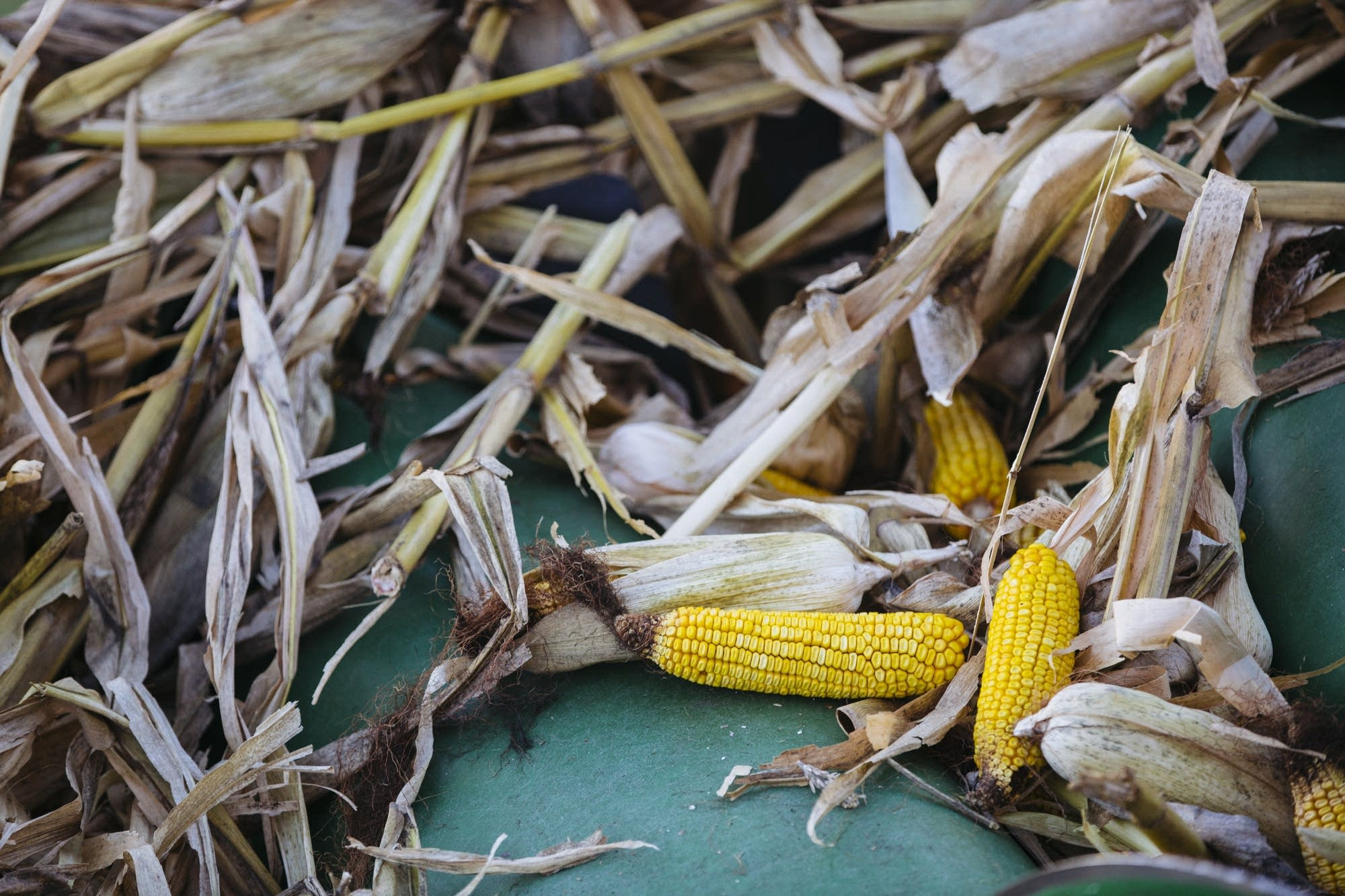 Corn cobs sits on the head of a combine.