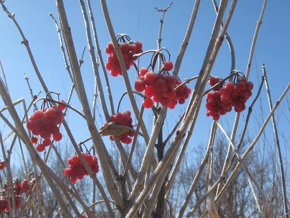 Cranberry farm