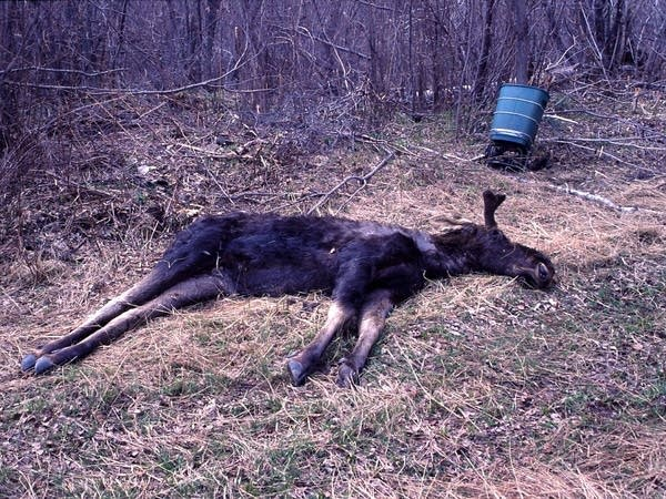 Dead bull moose
