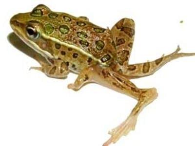 Deformed frogs still a mystery