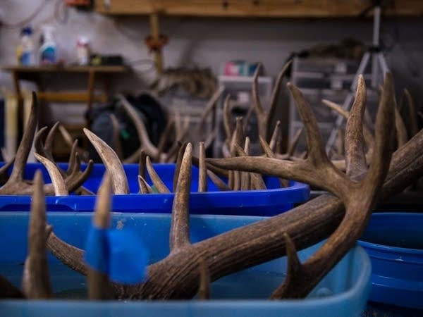 The skulls of several deer and elk are soaked for several days.