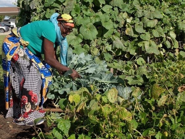 Ciza Consolata picks vegetables from a garden in Fargo