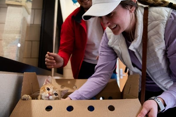 Two people pet a cat in a box.