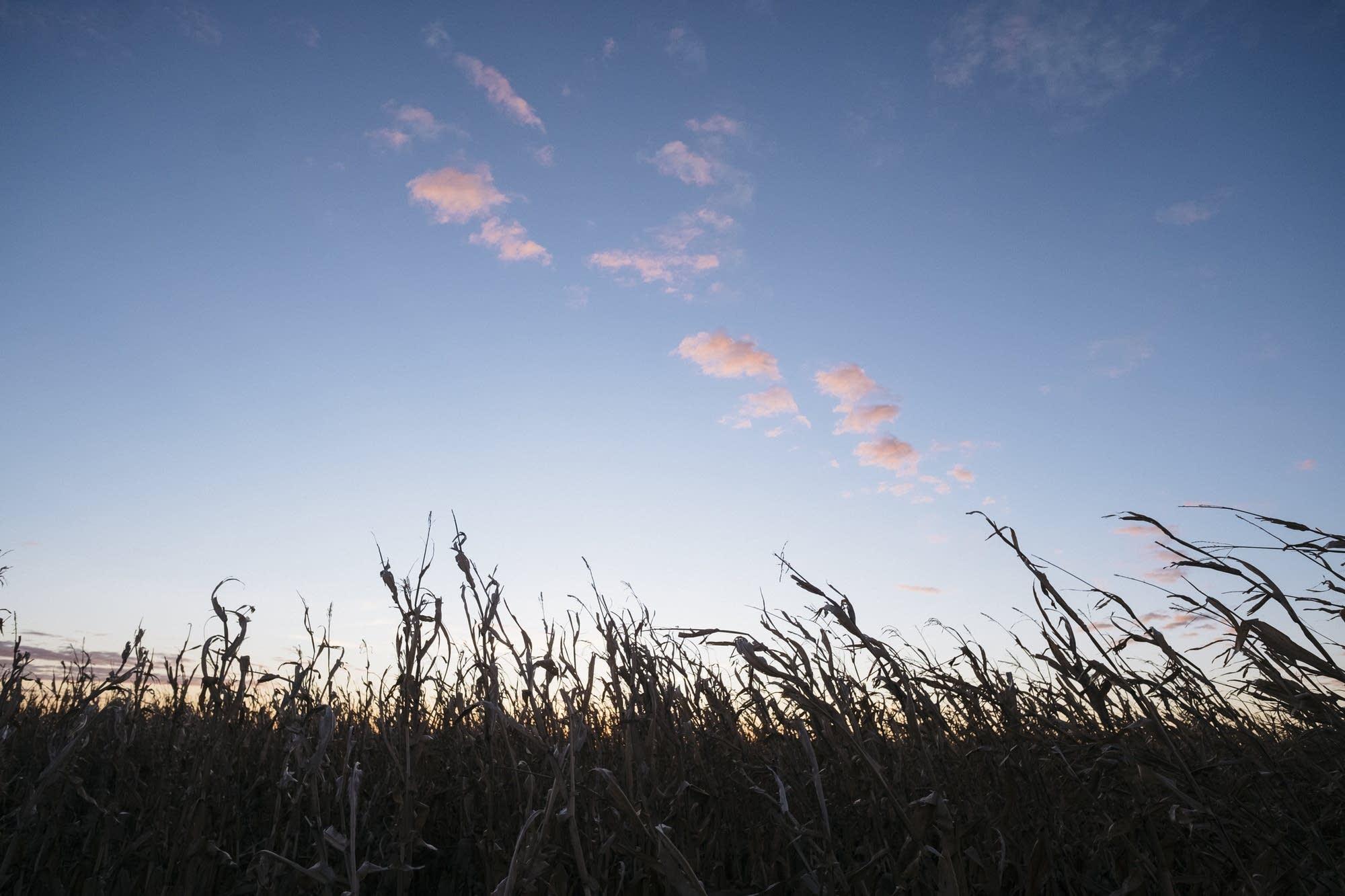 The sun rises over corn stalks.