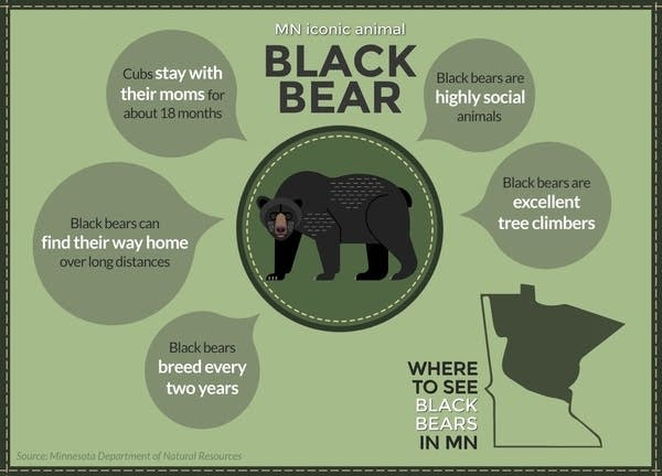 The black bear is the only species of bear in Minnesota.