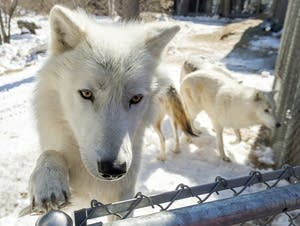 Arctic Wolves Behavior Challenges