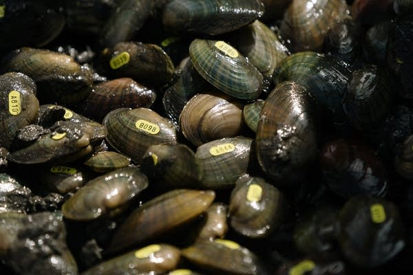Bunches of mussels with yellow stickers sit in a pile.
