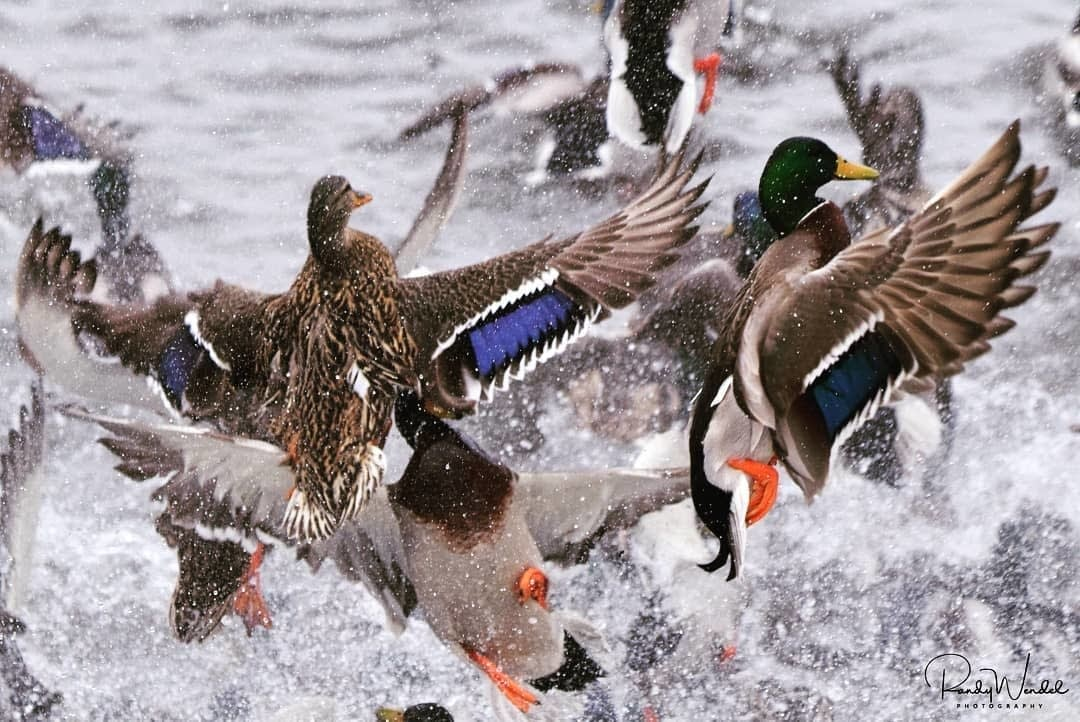 Spring is in the air and so are the waterfowl enjoying the warming weather.