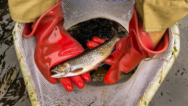 A brook trout is identified before being taken back to the lab.