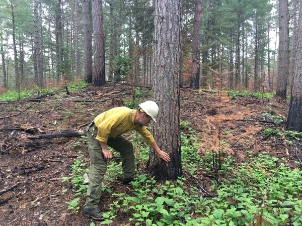 A forest fire official checks a tree