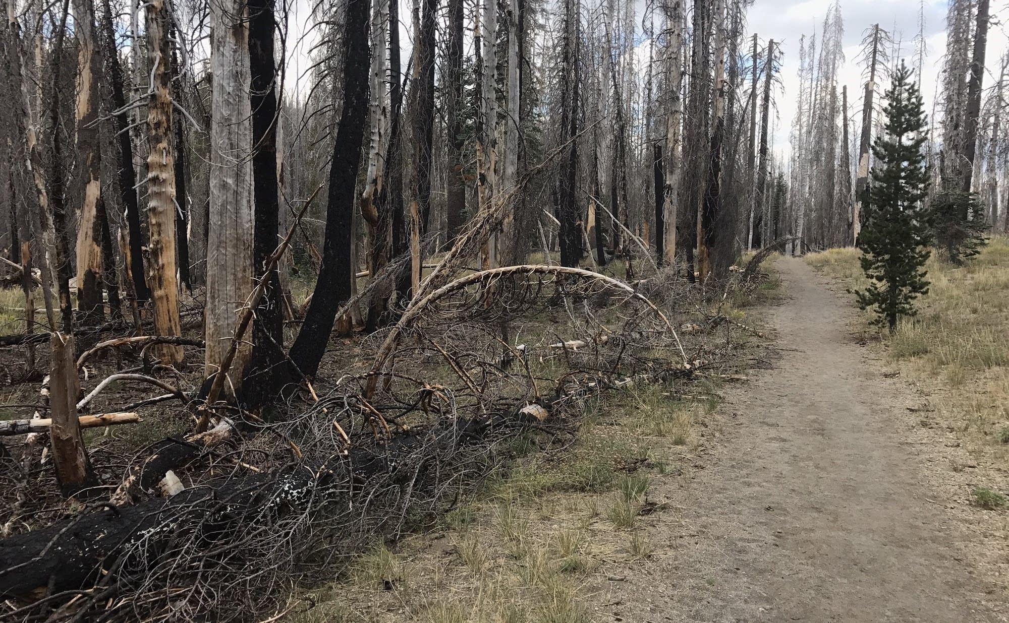 Trees charred by fire in the past