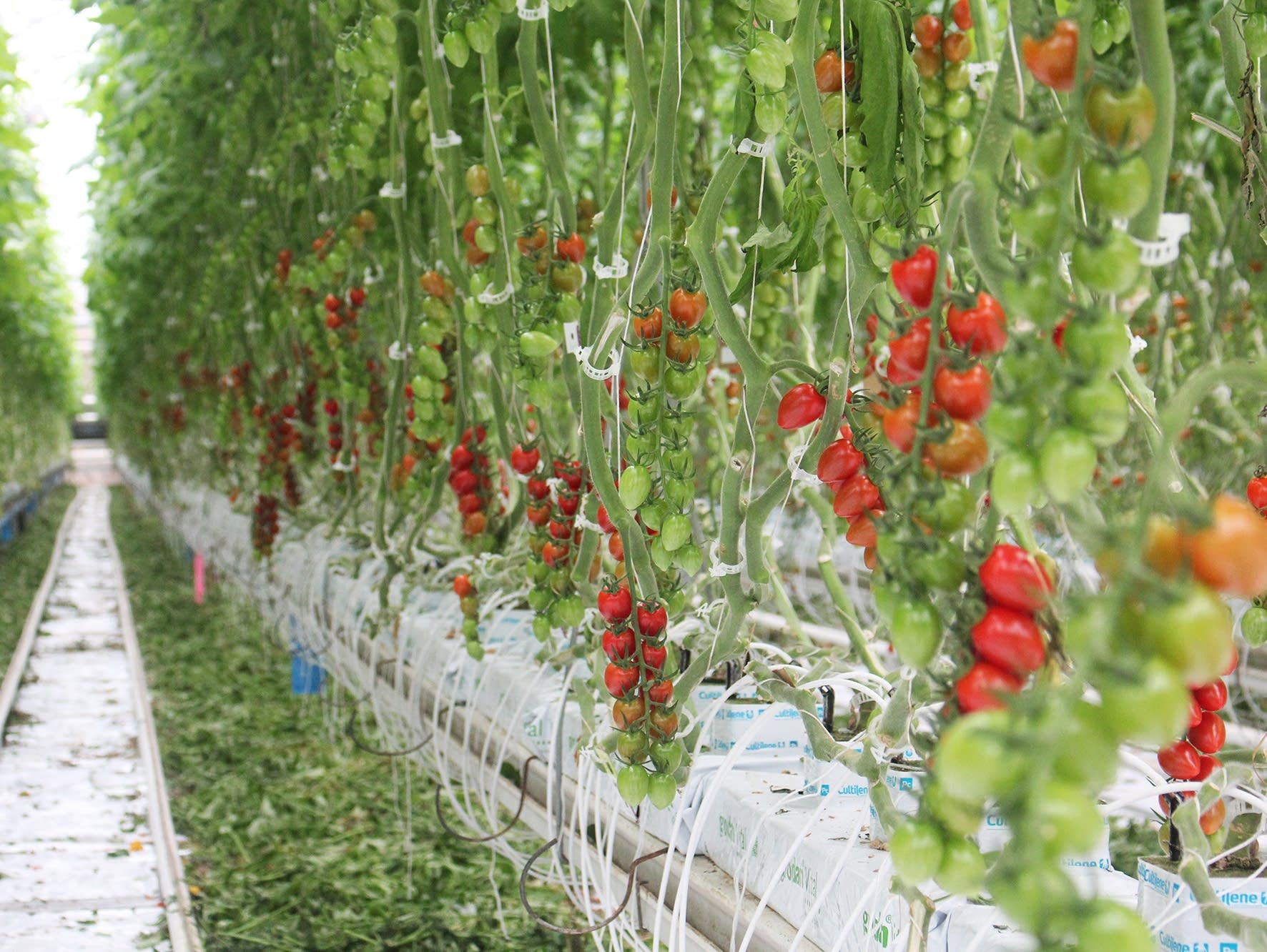 How Canada Became A Greenhouse Superpower Mpr News