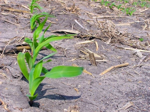 Corn outlook