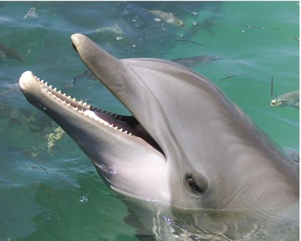 Allie the dolphin