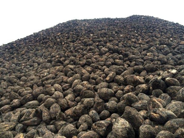 Sugar beet pile