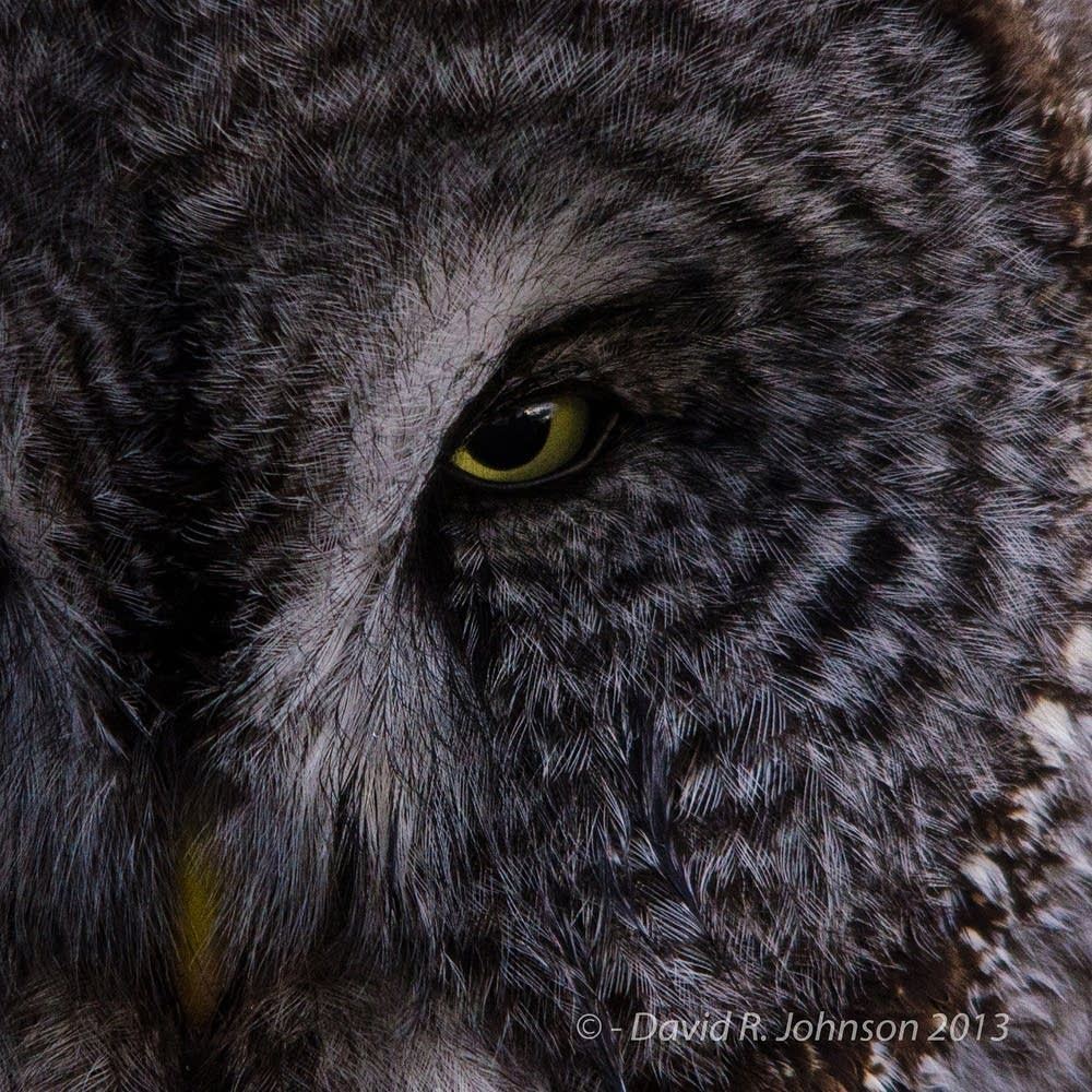 A Great Grey Owl